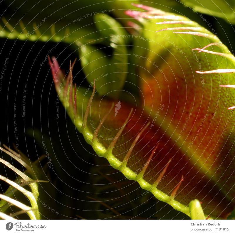 Fleischfresser der 2. Pflanze grün rot Fressen gefangen Makroaufnahme Nahaufnahme Venusfliegenfalle Sonnentaugewächse lockstoffe Ernährung Hinterhalt