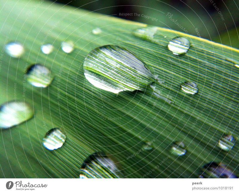 Tropfen auf Schilf Umwelt Natur Pflanze Wasser Sommer Gras Sträucher Blatt Grünpflanze Garten Park Wiese Seeufer Flussufer Moor Sumpf Teich Bach Menschenleer