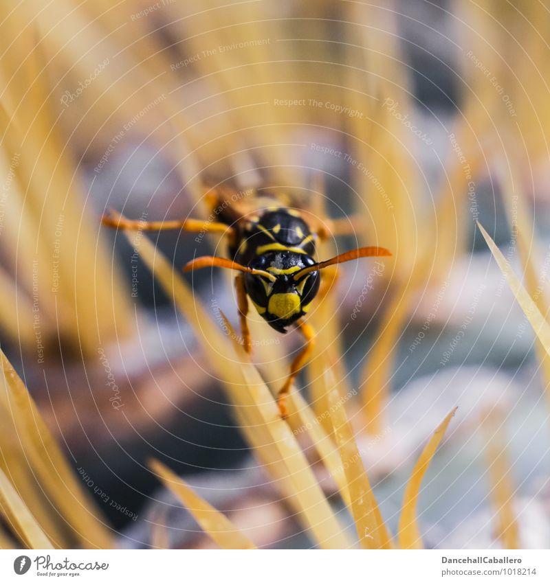 Stachelwald III Natur Pflanze Tier Kaktus Wespen Insekt Fühler Mundwerkzeug 1 krabbeln ästhetisch bedrohlich klein stachelig gelb schwarz fleißig Angst Stress