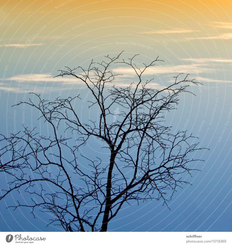 Himmelsgeäst, kopflastig Pflanze Wolken Sonnenaufgang Sonnenuntergang Winter Klima Klimawandel Wetter Schönes Wetter Baum blau orange Abend Abenddämmerung