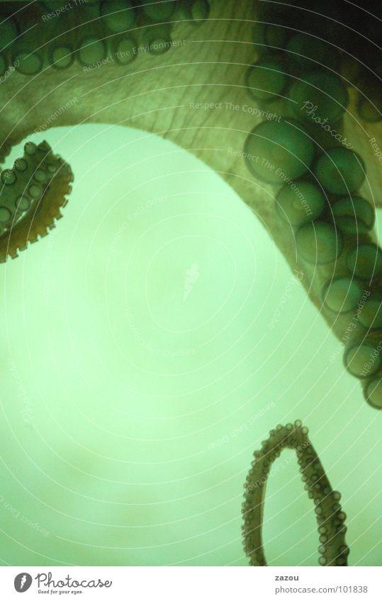 Krake Tintenfisch Weichtier Aquarium Tentakel Fisch Octopus Unterwasseraufnahme Octupus Wasser Saugtiere Oktupus Saugnapf