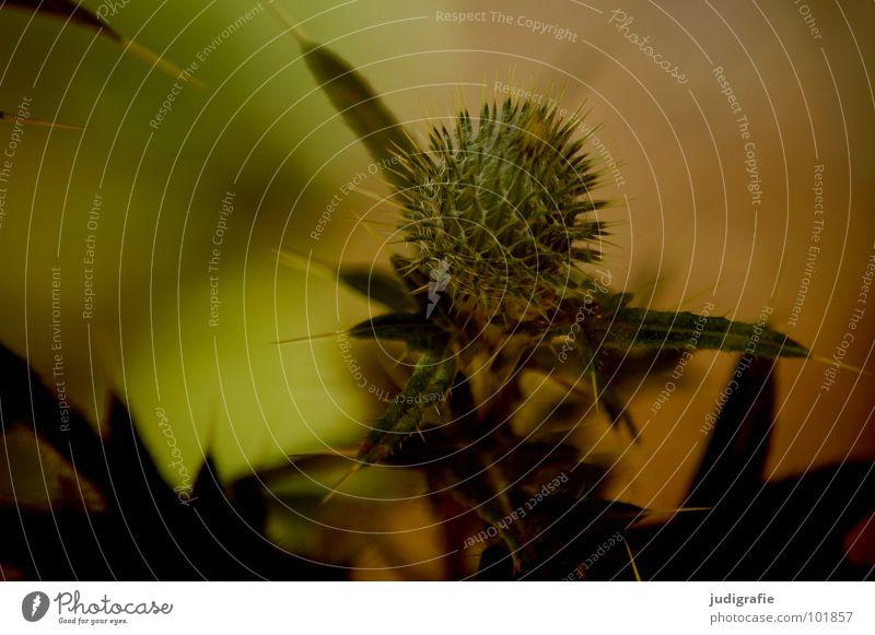 Wiese Distel Pflanze Stengel braun schwarz Sommer Umwelt Wachstum gedeihen schön Blatt Farbe Stachel Spitze Wildtier Natur einfach Heilpflanzen