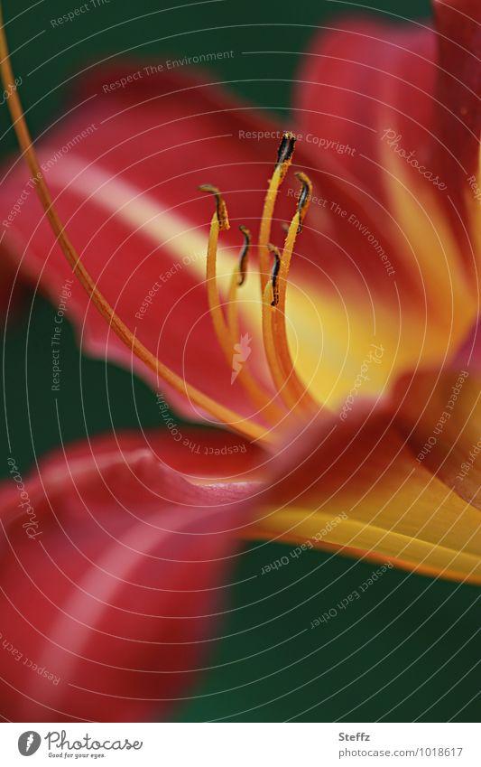 eine Taglilie blüht anmutig und elegant im Sommergarten Lilie Lilienblüte Lilium Hemerocallis Braunrote Taglilie Hemerocallis fulva blühende Lilie rote Blume