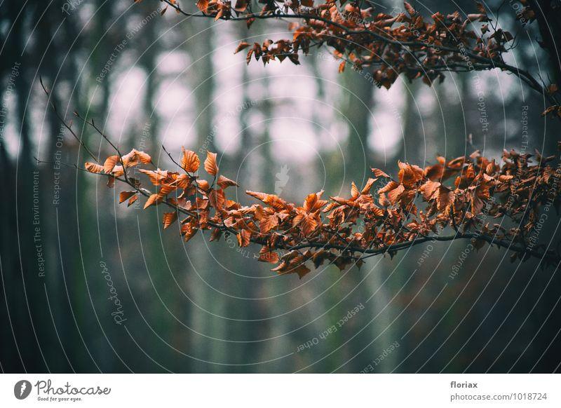 verwelkt Umwelt Natur Pflanze Herbst Winter Baum Blatt Park Wald hängen dunkel braun Trauer Krise Tod Ende Hoffnung Traurigkeit Ast Zweig Leben Denken