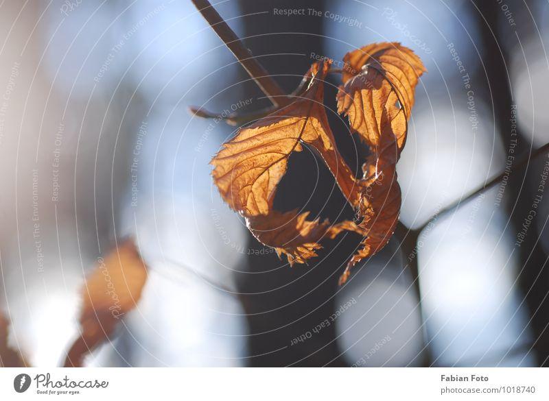 Herbst Natur Pflanze Sonne Schönes Wetter Blatt Park Wald alt glänzend verblüht dehydrieren Glück historisch positiv trocken Wärme gelb gold Vertrauen