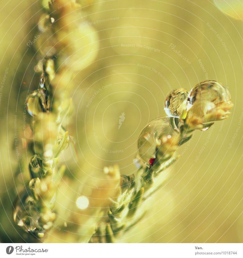 Wenn mir doch nur einmal... Natur Pflanze Wassertropfen Herbst Sträucher Grünpflanze Zweig frisch nass gelb grün Farbfoto Gedeckte Farben Außenaufnahme