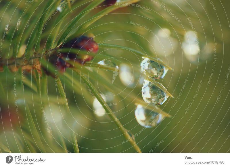 Drei Natur Pflanze Wassertropfen Baum Sträucher Tannennadel frisch nass grün Regenwasser Farbfoto mehrfarbig Außenaufnahme Detailaufnahme Makroaufnahme