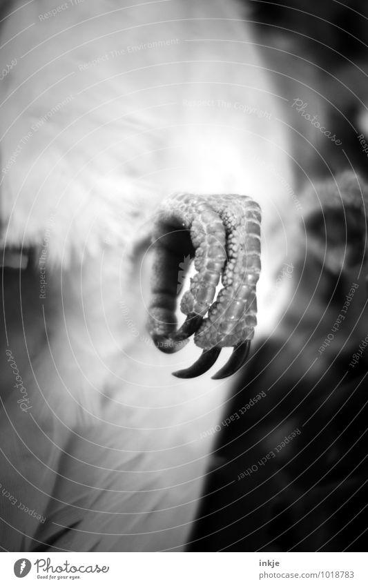 der Tod Wildtier Totes Tier Taube Krallen 1 liegen dunkel hässlich Spitze trist gekrümmt Vogelkralle Vergänglichkeit Schwarzweißfoto Außenaufnahme Nahaufnahme