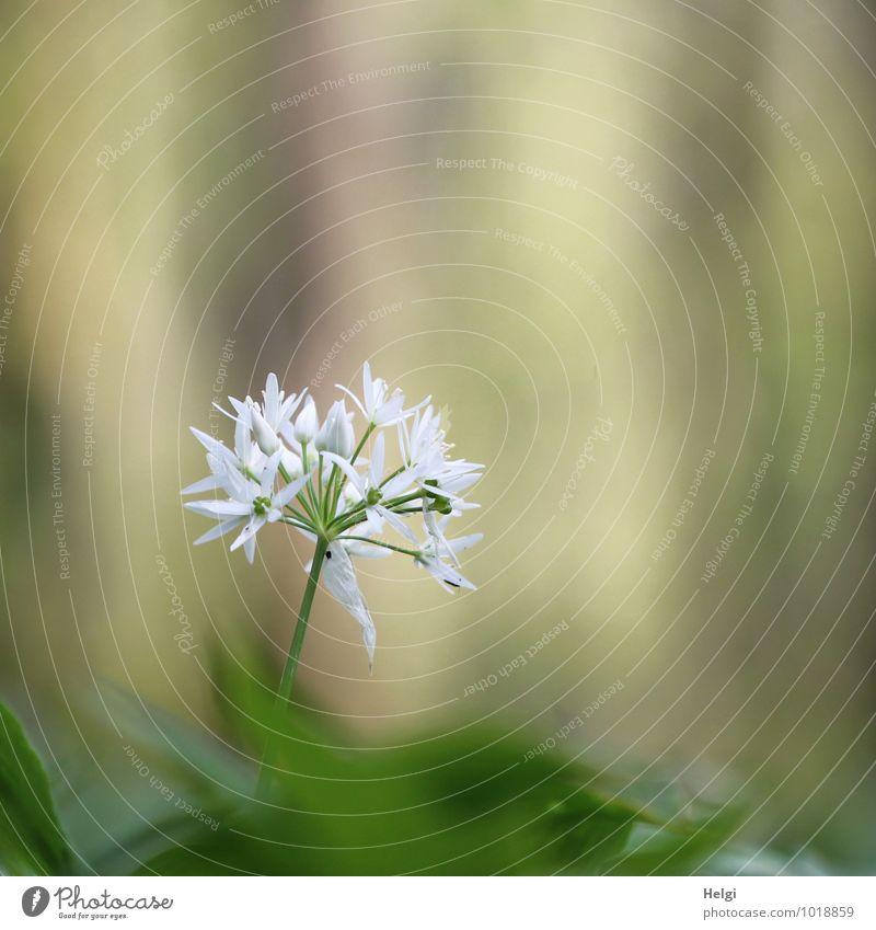 Happy Birthday willma... Umwelt Natur Landschaft Pflanze Frühling Schönes Wetter Blume Blüte Wildpflanze Bärlauch Wald Blühend stehen Wachstum ästhetisch frisch