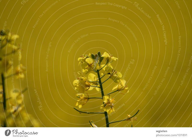 Rapsfeld 1 Natur Blume Sommer ruhig gelb