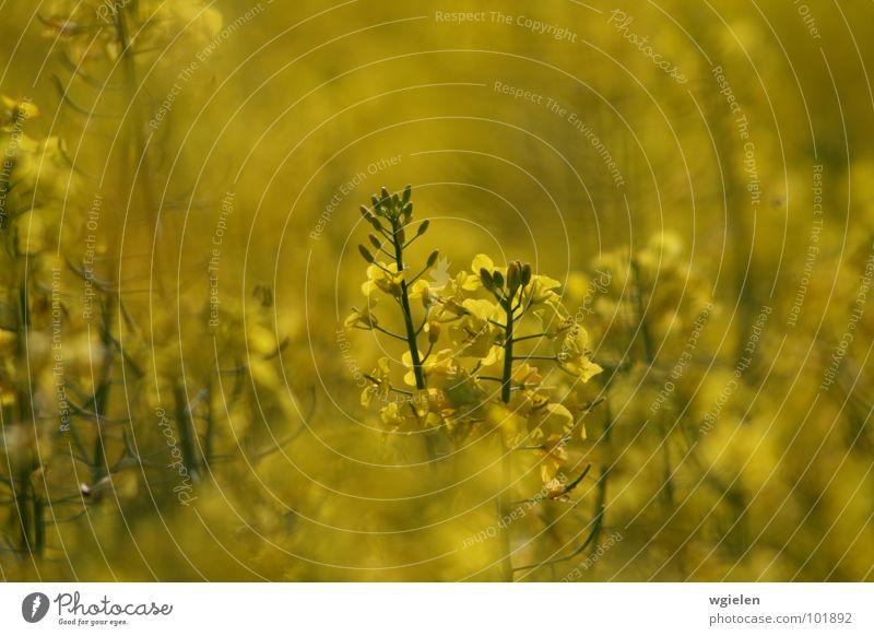 Rapsfeld 2 Natur Blume Sommer ruhig gelb