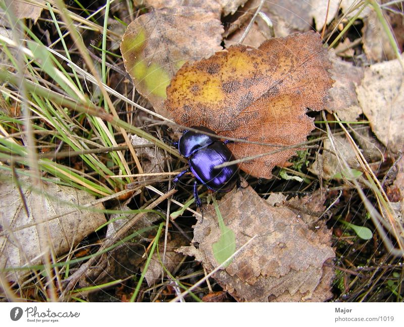 Käfer Blatt Käfer