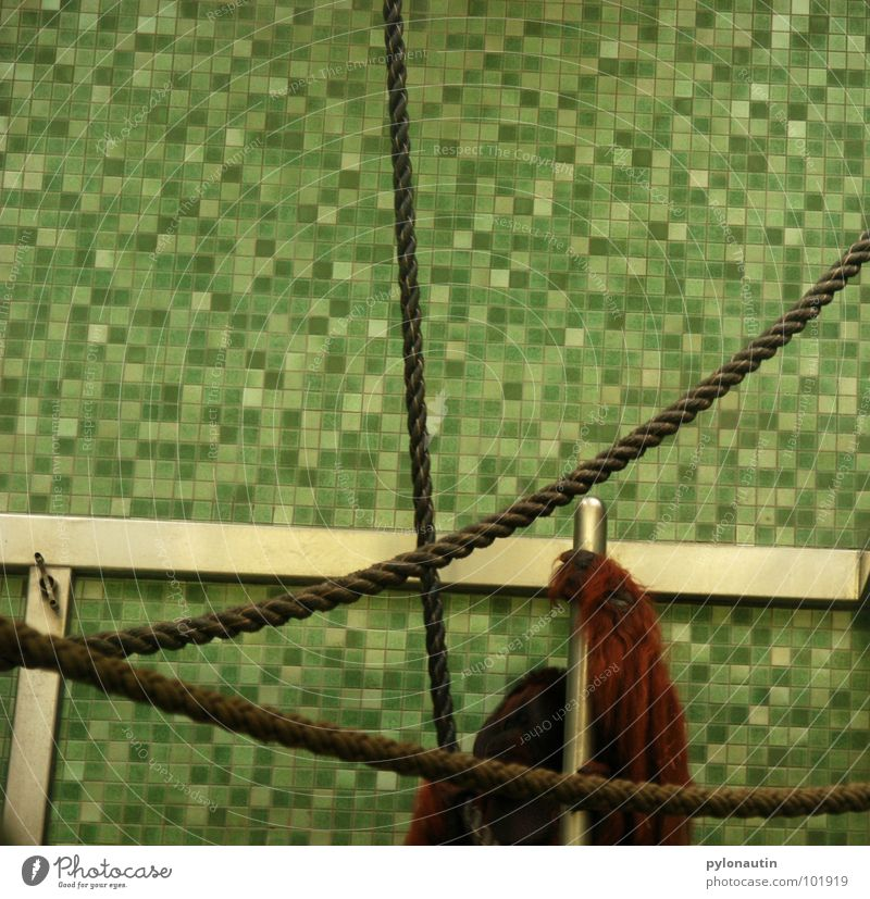 Kachelkäfig Hand weiß grün Tier Metall Seil Klettern Fell Zoo Fliesen u. Kacheln Säugetier Affen steril Käfig Orang-Utan