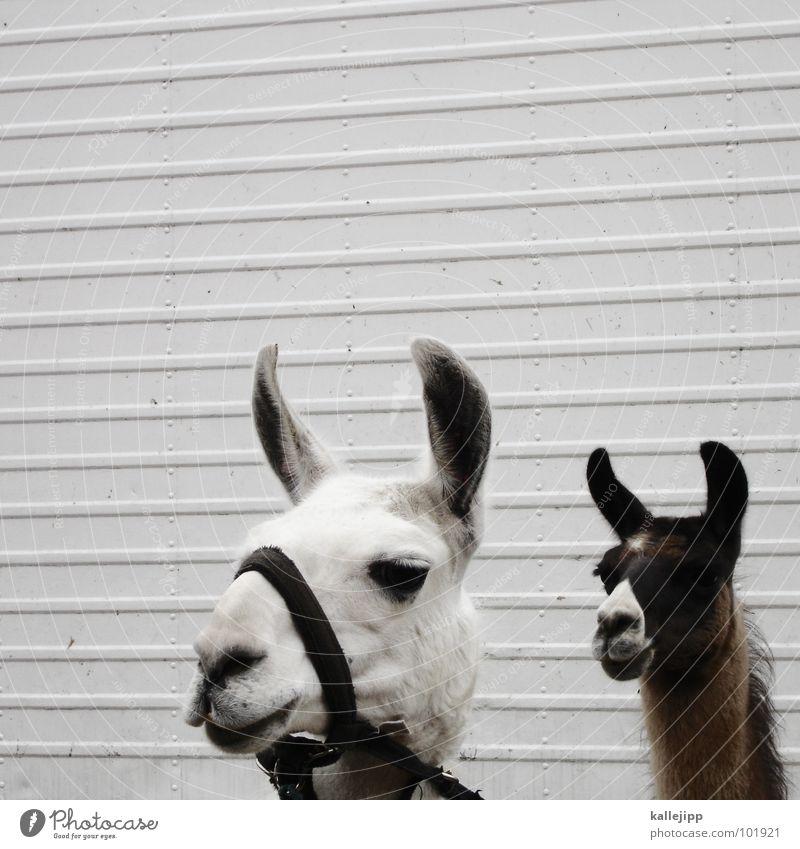 lama in lima Lima Peru Inka spucken Tier Nutztier Zirkusnummer gefangen Blick Lama Anden animal zirkustier beobachten kallejipp