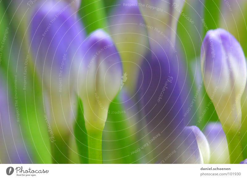 Knospen grün blau Sommer Blume Blüte Frühling Hintergrundbild violett Blütenknospen Lilien maigrün