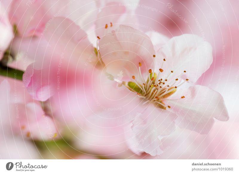 Mädchenbild schön rosa Natur Pflanze weiß Blüte Frühling hell Sträucher