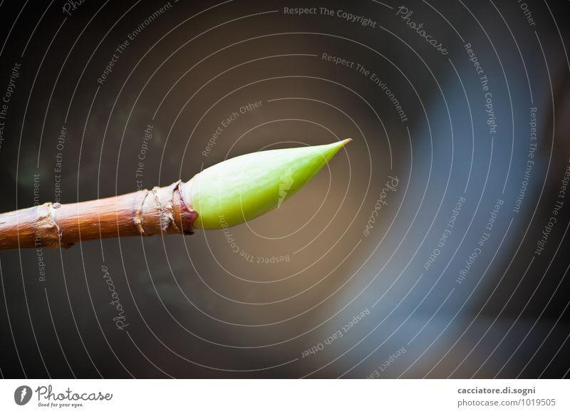 Frühlingshafte Andeutungen Natur Pflanze schön grün ruhig Umwelt klein braun orange Wachstum ästhetisch Spitze Ast einzigartig Neugier