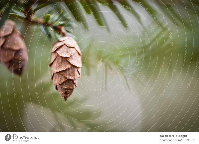 Märchen-Wald-Zapfen Natur Pflanze Frühling Schönes Wetter Baum Wildpflanze Tannenzweig Nadelbaum Ast Tannennadel hängen ästhetisch einfach Freundlichkeit klein