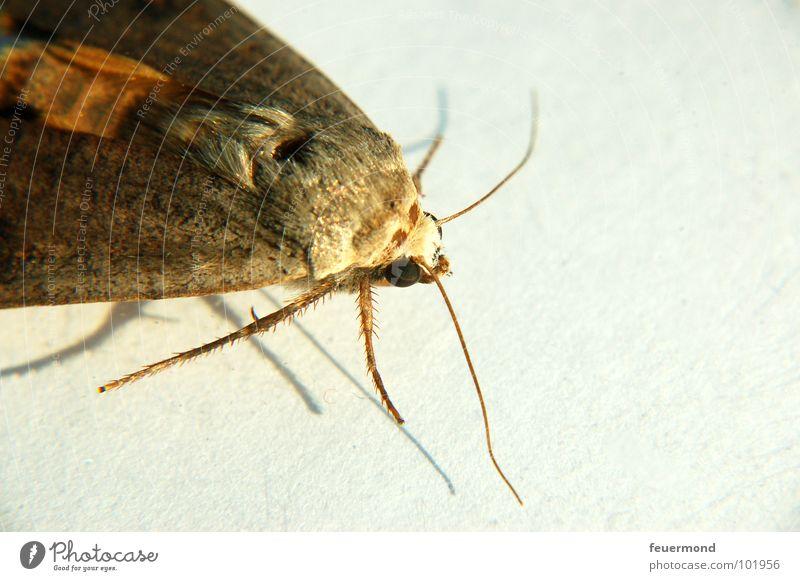 Moni Motte Schmetterling Bekleidung Tier Insekt flattern Ekel Fühler Beine Kleiderschrank Mottenkugeln Tierchen Großschmetterling fliegen Angst Garten