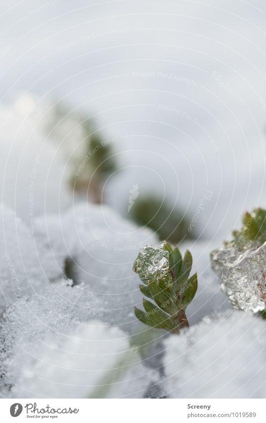 Never surrender Umwelt Natur Pflanze Winter Eis Frost Schnee Wiese kämpfen Wachstum kalt klein stark grün weiß Optimismus Erfolg Kraft Willensstärke standhaft