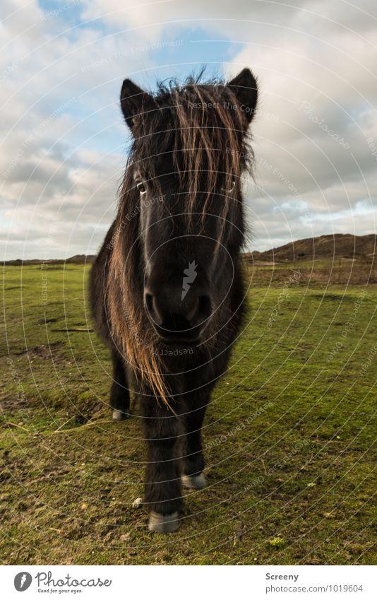 Shetland Pony #7 Natur Pflanze Sonne Landschaft ruhig Tier Wiese Gras Sand Idylle Kraft stehen Schönes Wetter Pferd Gelassenheit Stranddüne