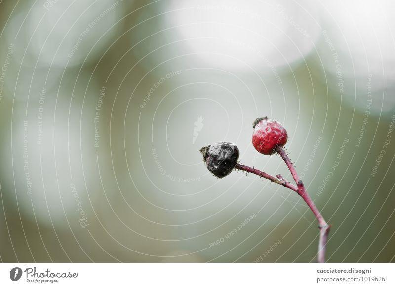schwarz-rot Natur Pflanze Herbst Wildpflanze Hagebutten Ast Zweig Stengel dünn einfach Zusammensein klein trocken grün Tod Einsamkeit Erschöpfung Zukunftsangst
