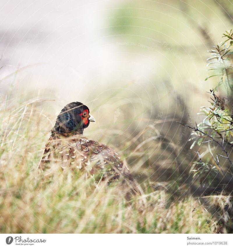 Der Herr Fasan Umwelt Natur Pflanze Gras Sträucher Wildpflanze Tier Wildtier Vogel Tiergesicht 1 Blick schön elegant Idylle Feder Neugier Schnabel Farbfoto