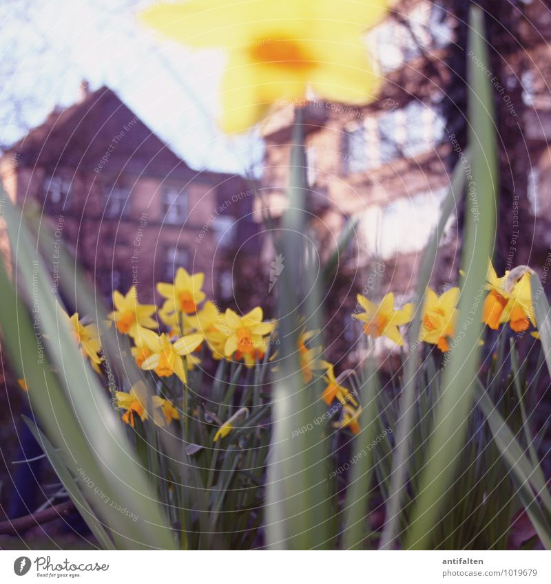 Frühling Häusliches Leben Haus Umwelt Natur Pflanze Erde Wetter Schönes Wetter Blume Blatt Blüte Narzissen Stengel Blütenkelch Garten Park Wiese Düsseldorf