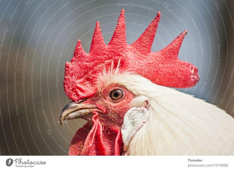 Stolzer Hahn Nutztier Vogel Tiergesicht 1 natürlich Gockel Kopf Hahnenkamm Farbfoto Außenaufnahme Nahaufnahme Detailaufnahme Tag Zentralperspektive