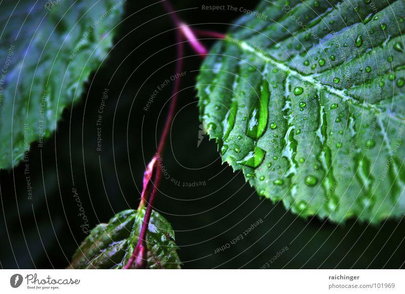 neulich im regenwald... Blatt Regen nass grün Frühling Imprägnierung Makroaufnahme Nahaufnahme Wasser Wassertropfen Wasserrinne Natur Wetter Seil Zweig