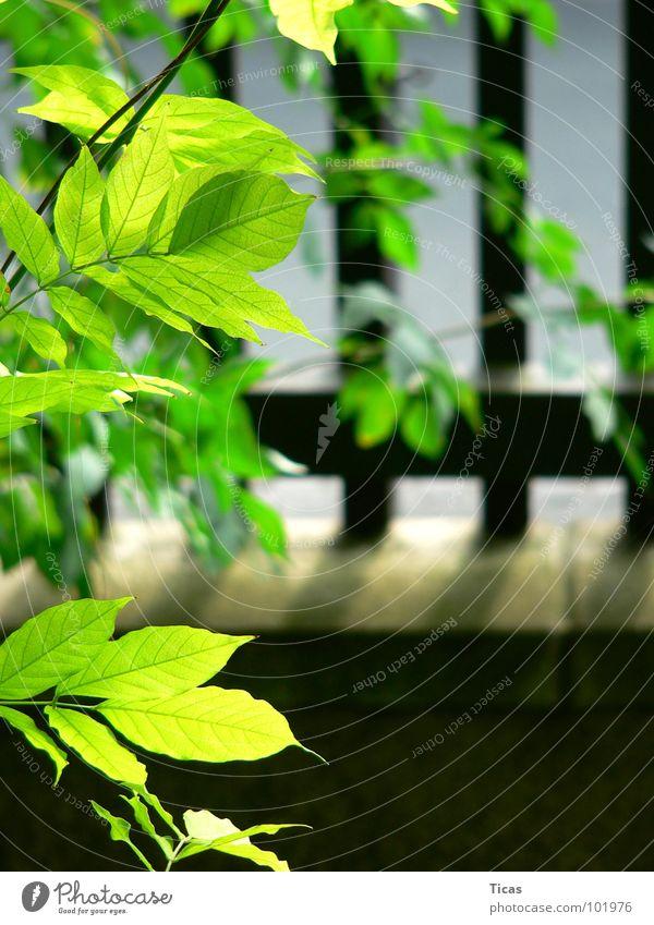 Zaungäste Gartenzaun Vorgarten Holzbrett Holzmehl grün Blatt Mauer Sommer Sicherheit fence Lattenzaun Zaunlatten picket picket fences latch front garden