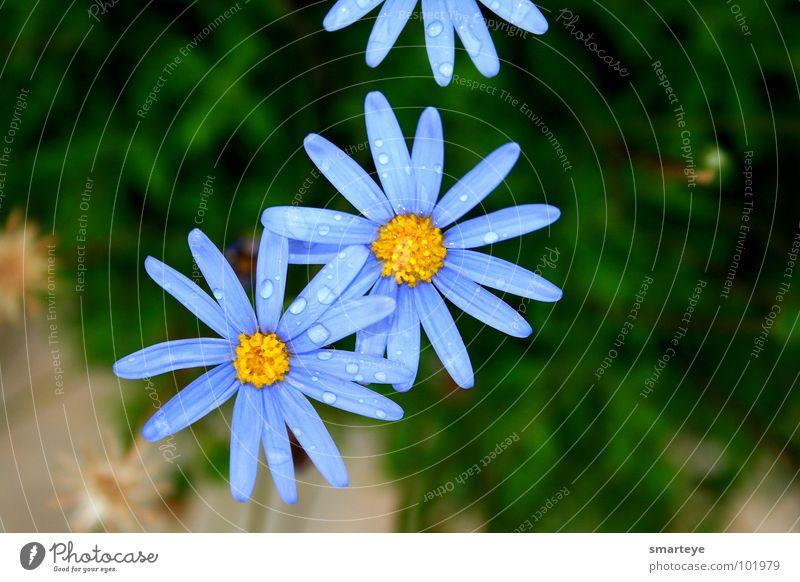 Blue Flower Wasser schön Blume blau Pflanze gelb Garten Regen Wassertropfen nass Idylle