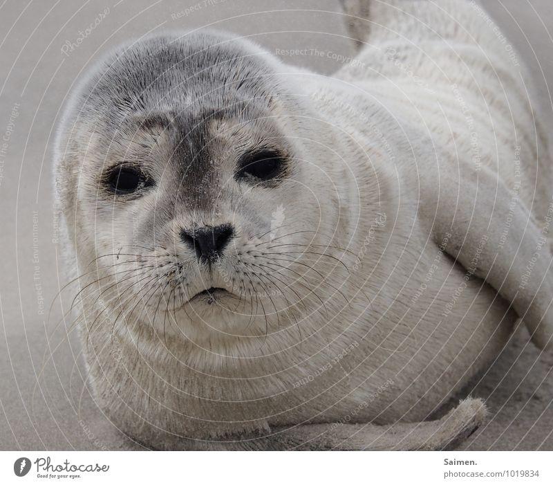 moin! Natur Tier Sand Wildtier Tiergesicht Fell Robben 1 liegen Blick Neugier niedlich weich Freiheit Gelassenheit Umwelt Meerestier Tierjunges Auge Farbfoto