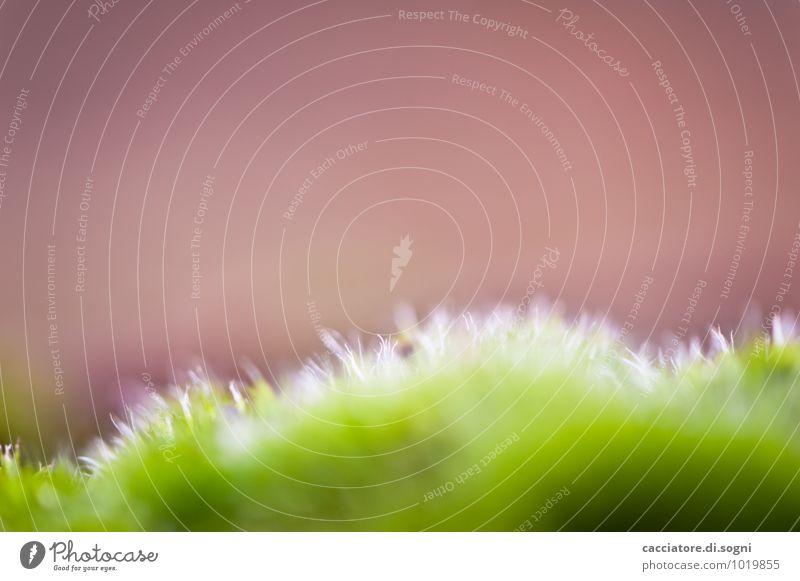weich Natur Pflanze Herbst Moos dünn einfach Erfolg exotisch frisch kuschlig klein nah viele braun grün rot bescheiden Design einzigartig Horizont rein