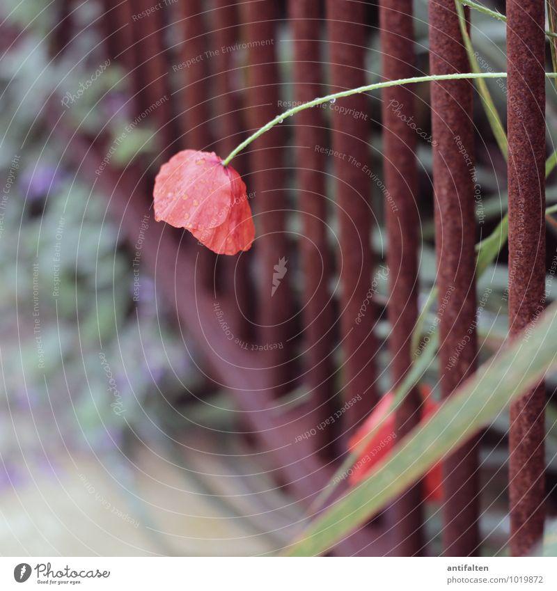 beautiful red poppy Umwelt Natur Pflanze Wassertropfen Sommer Herbst Schönes Wetter Blume Blatt Blüte Klatschmohn Garten Park Stadtrand Zaun Rost Gitter