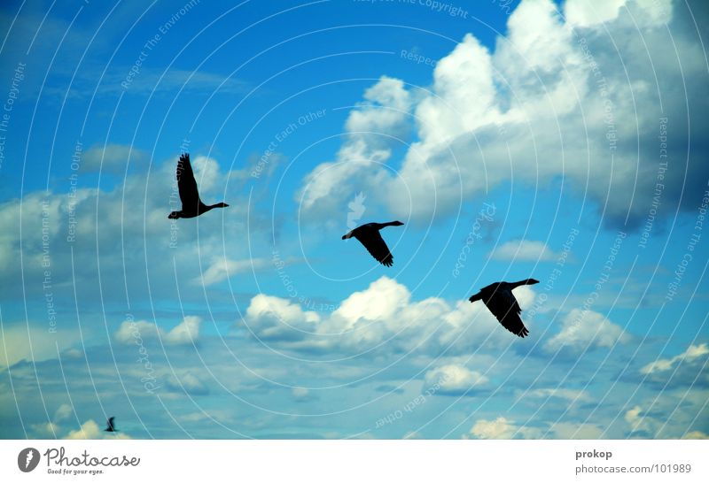 Ausflug Drei Plus Vogel Wolken Süden Schönes Wetter Gans Wildgans lecker Gänsebraten Fernweh Ferien & Urlaub & Reisen Ferne Afrika überwintern Luft Sauberkeit