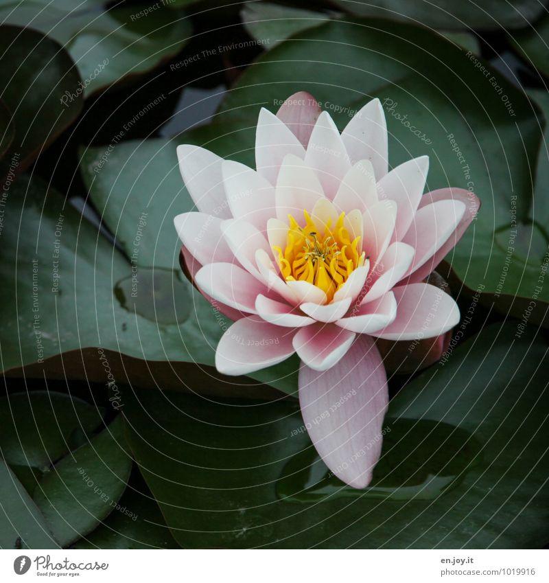 Blütenpracht Wellness Erholung ruhig Meditation Natur Pflanze Blume Wasserpflanze Seerosen Teich Blühend ästhetisch schön Kitsch gelb grün rosa Lebensfreude
