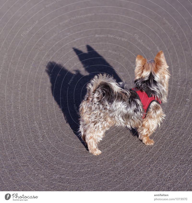 Batdog Sonnenaufgang Sonnenuntergang Sonnenlicht Herbst Winter Schönes Wetter Stadtzentrum Platz Asphalt Tier Haustier Hund Fell Pfote Rauhaardackel Dackel 1