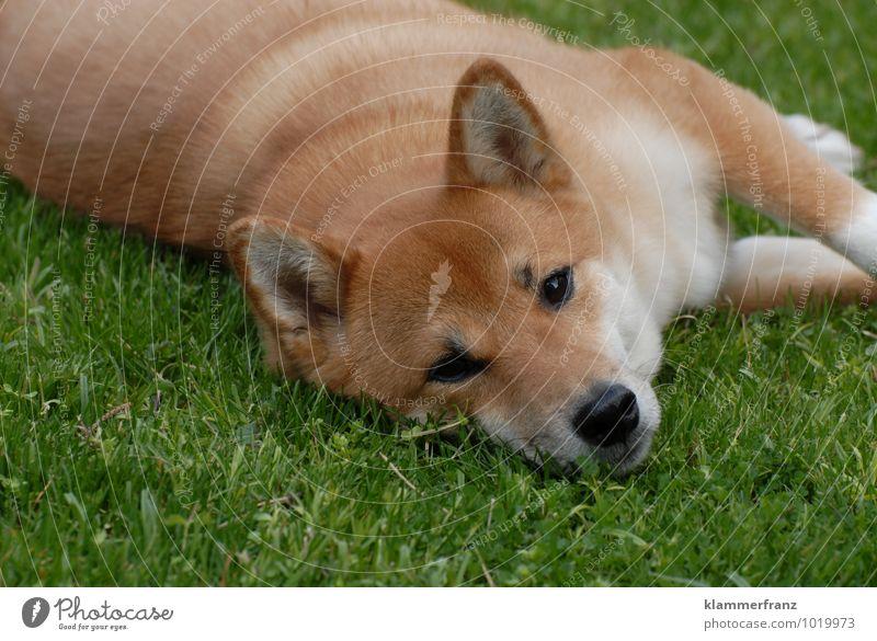 Liegewiese mit Hund schön grün Erholung ruhig Freude Tier natürlich Glück Gesundheit braun liegen Zufriedenheit warten Fröhlichkeit niedlich
