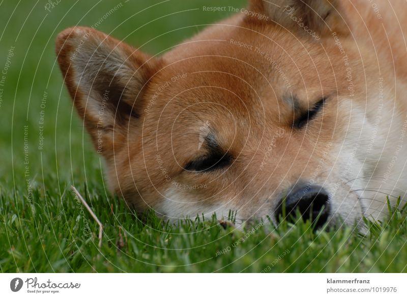 Müde bin ich... Hund 1 Tier schlafen Freundlichkeit Glück niedlich braun grün weiß Zufriedenheit schön Wachsamkeit Müdigkeit genießen Farbfoto Außenaufnahme