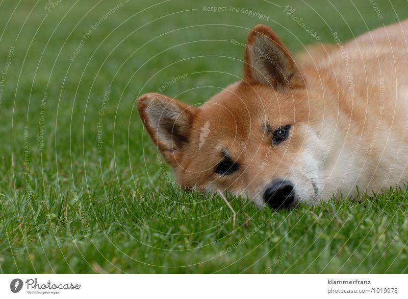 Schönheitsschlaf Hund schön grün Freude Tier lustig natürlich Glück Gesundheit braun Zufriedenheit Kraft warten Fröhlichkeit beobachten schlafen
