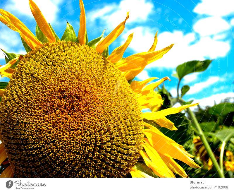 sonnenbl... schön alt Himmel Sonne Blume grün blau Pflanze Sommer Freude Wolken Ernährung gelb Blüte Freiheit Wärme