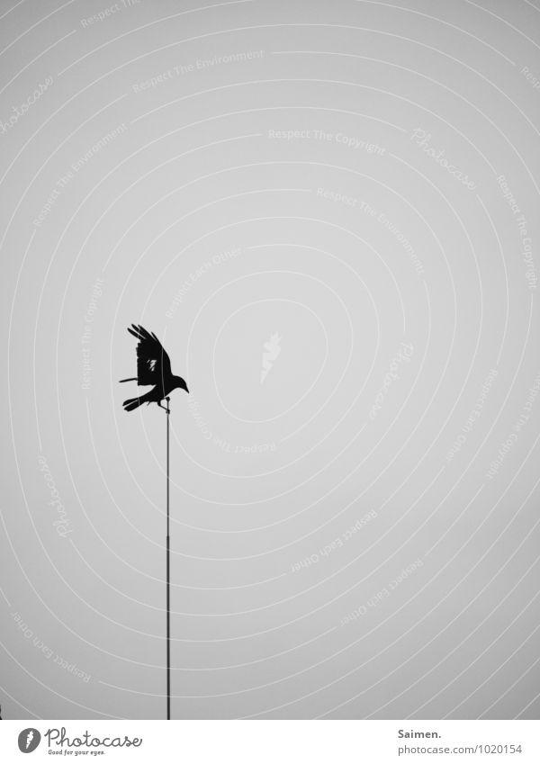 Todesbote Tier Wildtier Vogel 1 fliegen dunkel Erfolg Kraft Mut Glaube Trauer Angst anstrengen Bewegung Einsamkeit Endzeitstimmung bedrohlich Natur