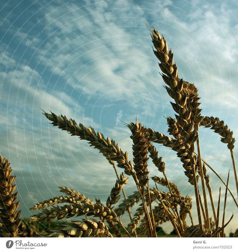 K O R N Himmel Pflanze Wolken ruhig Feld Wildtier Erfolg frisch Landwirtschaft trocken Korn Ernte reif Ackerbau Halm durcheinander