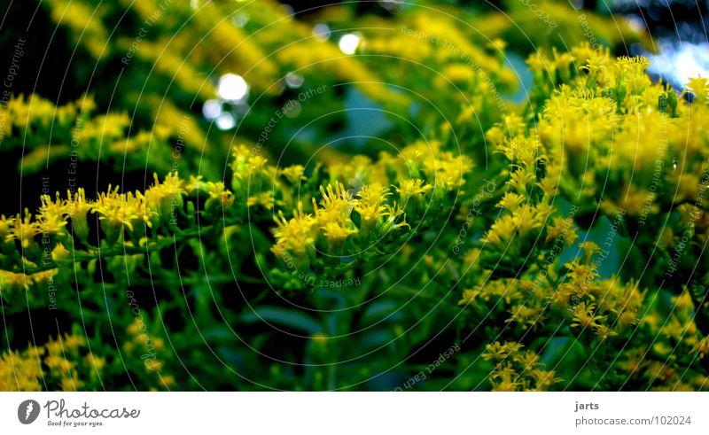 gelb und grün Blüte Garten Park Sträucher Hecke
