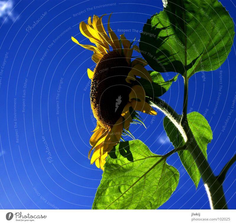 Guten Morgen, Guten Morgen, Guten Morgen Sonnenschein... Sonnenblume Stengel gelb grün Wolken Schönes Wetter Blüte Blume Pflanze Lebewesen Korbblütengewächs