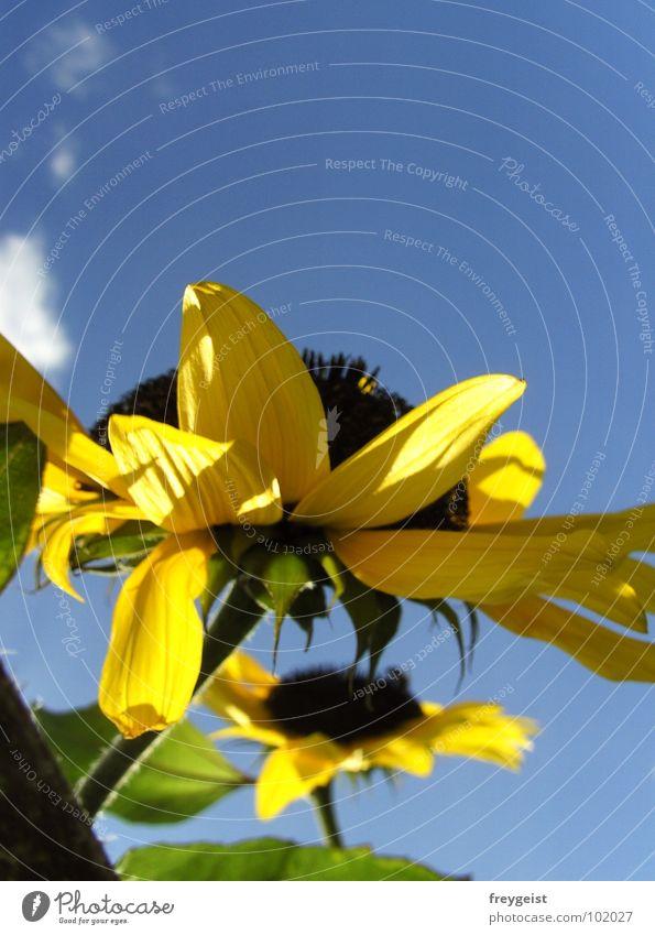 Sonne tanken... Himmel blau Sommer Wolken gelb Blüte Wärme Perspektive Physik Sonnenblume