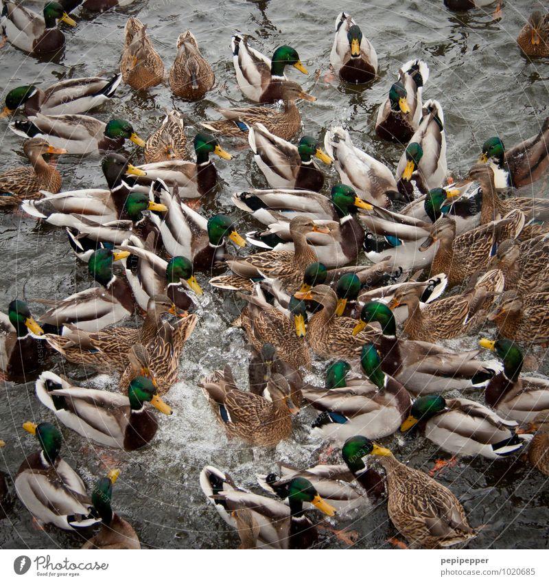 rugby Sport Wassersport Rugby Wellen Teich See Wildtier Vogel Tiergesicht Flügel Pfote Zoo Ente Entenfamilie Tiergruppe Herde Schwimmen & Baden Bewegung Fressen