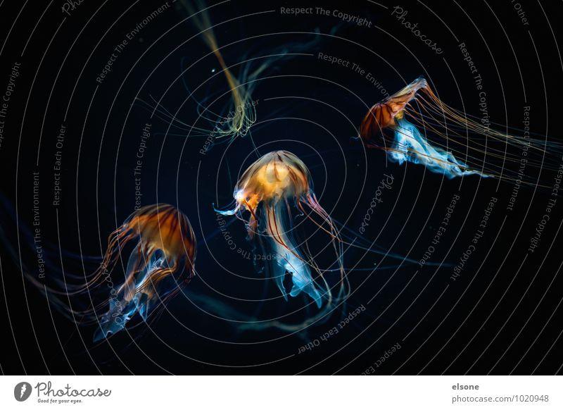 Tiefseetaucher Natur Wasser Meer Tier Qualle Aquarium 3 Tiergruppe Schwarm Bewegung Schwimmen & Baden ästhetisch schleimig gefährlich Gift Chrysaora Nesseltiere