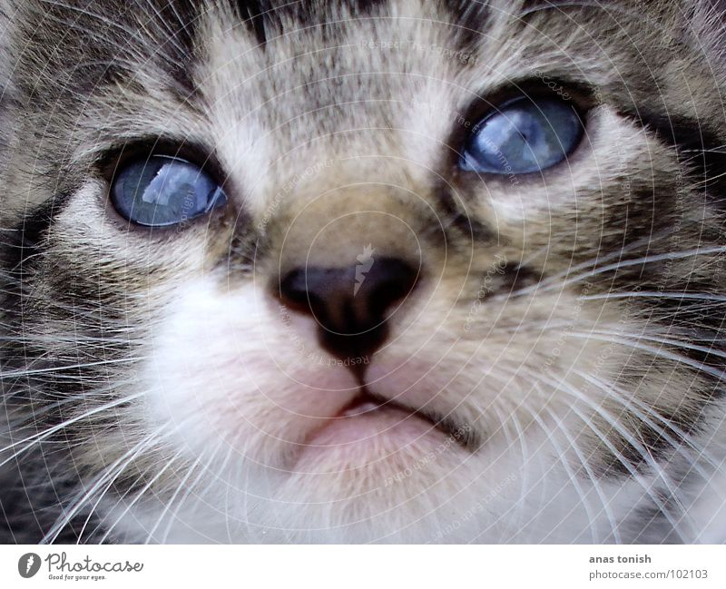 sweet cat (colour) verträumt kuschlig Katze Fell Haustier klein süß Tier weich Katzenbaby Hauskatze niedlich Spielen Schnurrhaar Katzenkopf Ausstrahlung Neugier